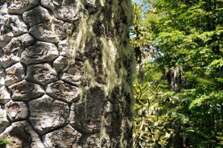 Bark of a Monkey Puzzle tree