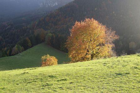 Herbstlicher Ahorn an der Kampenwand