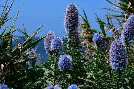 Die Blume Pracht von Madeira