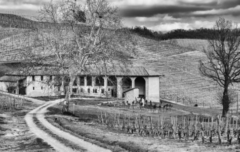 Vineyard, Langhe