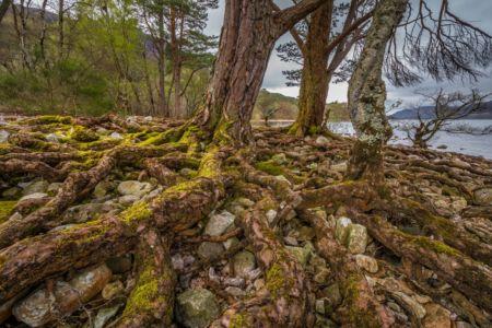 Roots am Loch Maree