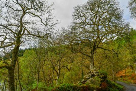 Alte Bäume am Loch Katrine