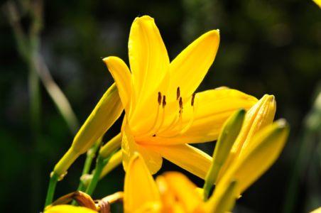 Taglilie im heimischen Garten