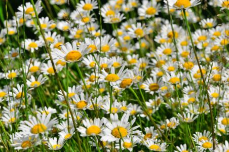 Margeriten im heimischen Garten