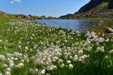 Wollgras am Lago  mediano dell'Ischiator