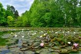 Seerosen im Schlosspark Dennenlohe