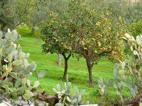 Orangenbäume im Dezember